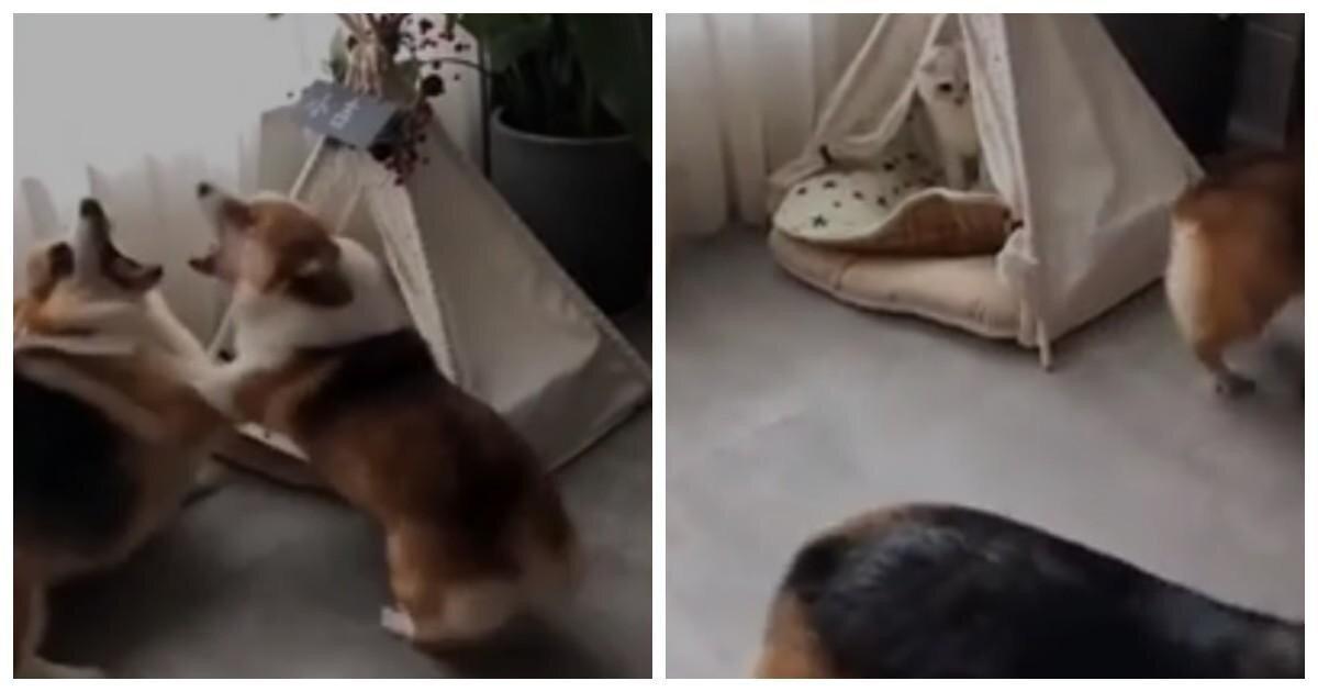 """Пёс """"потерял нюх"""", заснув рядом с кошечкой, но ревнивая подруга расставила всё по своим местам: видео"""