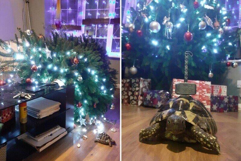 Маленькая черепаха уничтожила двухметровую рождественскую ель