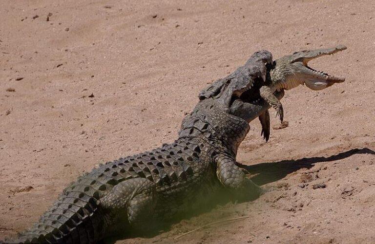 Крокодилы способны поедать своих сородичей