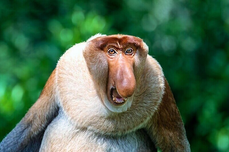 6 интересных фактов о примате с необычным носом