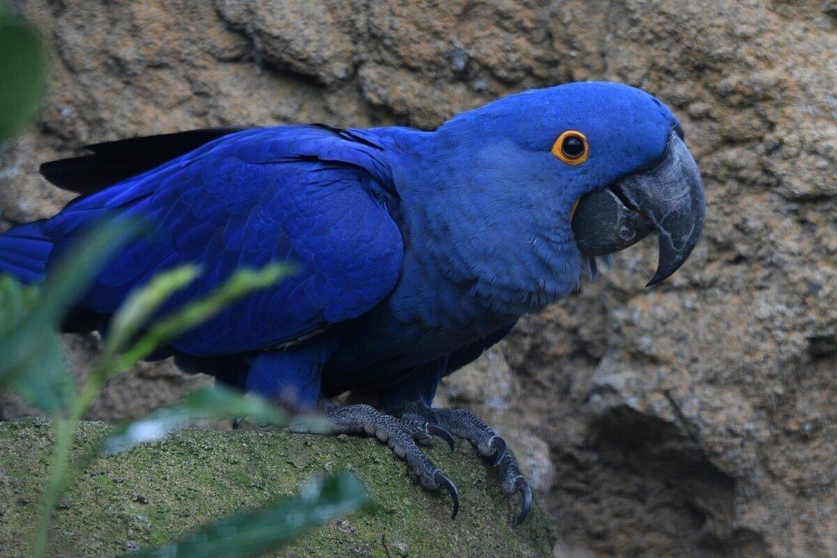 Гиацинтовый ара: Безупречный интеллект и умение открывать пивасик. Почему этот попугай считается лучшим?