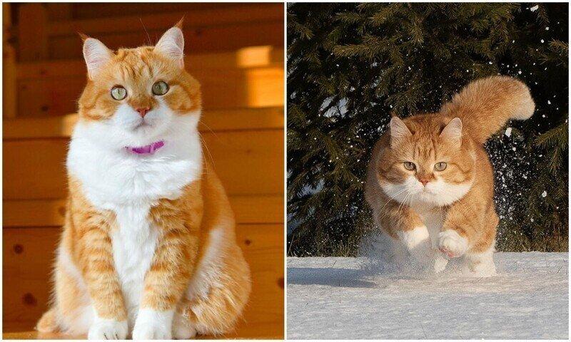 Рыжий - няшный кот из России, который покоряет миллионы сердец