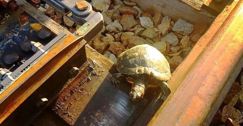 Японцы научили черепах переходить железнодорожные пути