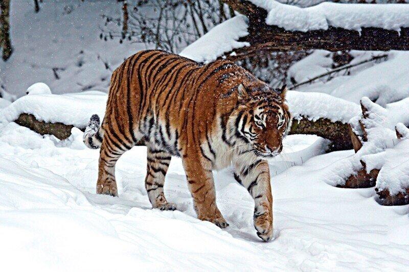 6 фактов о том как зимует уссурийский тигр