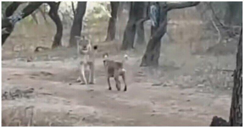 Бездомный пес продемонстрировал свою крутизну,  подравшись с львицей