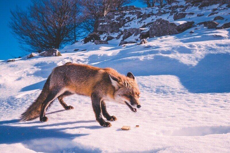 6 интересных фактов о том как зимует лисица