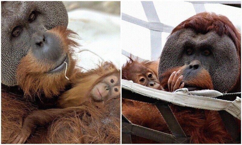 Отец-орангутан заботится о дочери после смерти ее мамы