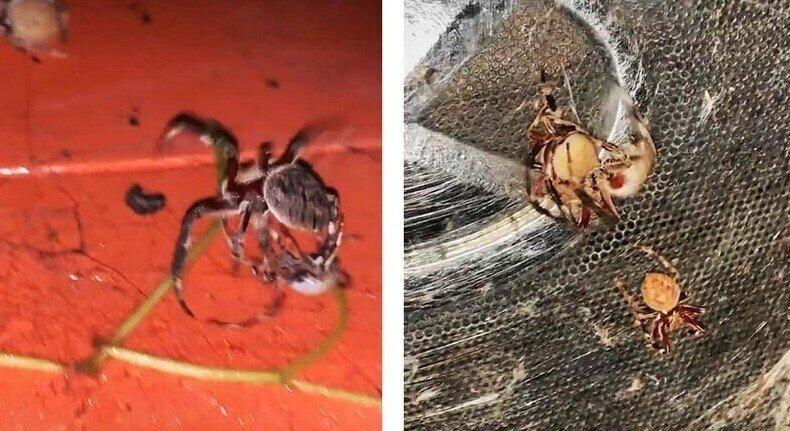 Не на жизнь, а на смерть: схватка двух пауков