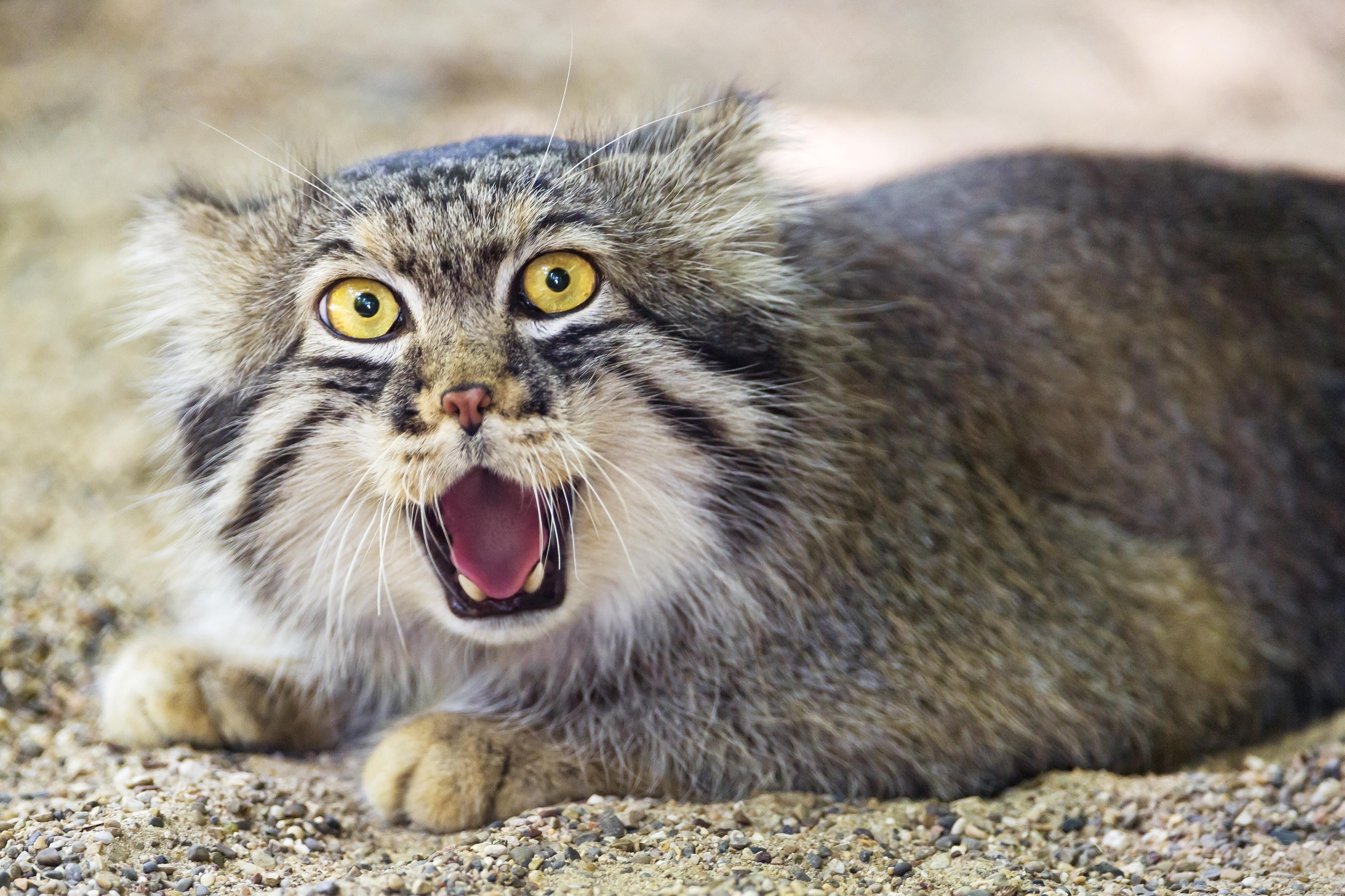 Манул – одинокий кот