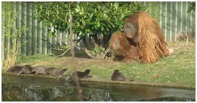 Как орангутан выдр гонял