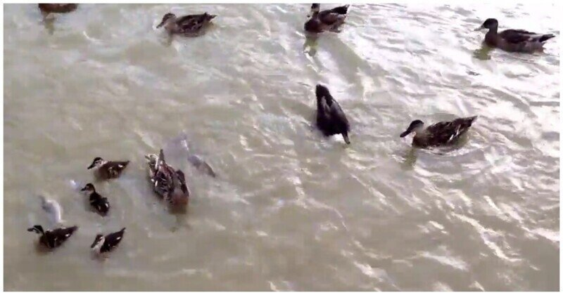 Высокая конкуренция: рыбы и утки не поделили корм в водоеме