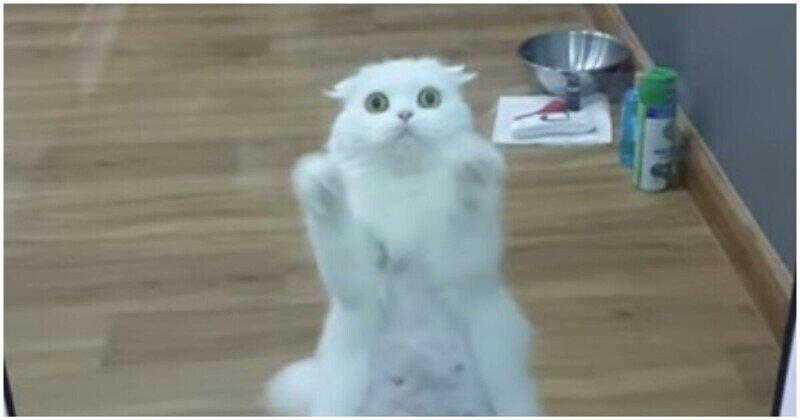 Кошка пытается привлечь к себе внимание хозяйки