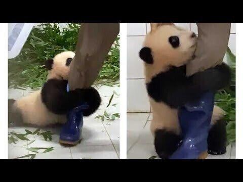 Очаровательный малыш панды не желает отпускать смотрителя зоопарка
