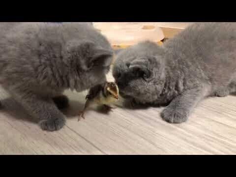 Как котята с цыпленком знакомились
