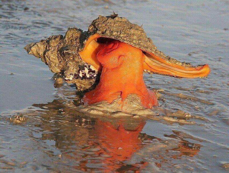 Лошадиная улитка: Огромный моллюск рекордсмен и его безумно медленные способы крошить свою добычу