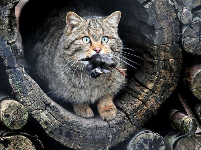 Лесные коты, разновидности