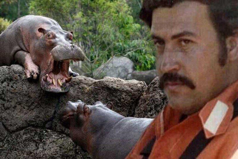 Кокаиновые бегемоты Колумбии, или Экологическая диверсия Эскобара
