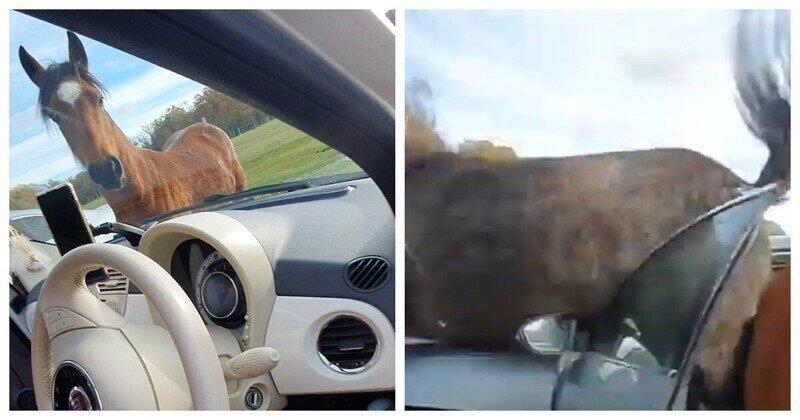 Голодный пони обиделся и разнёс автомобиль