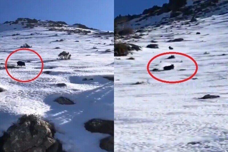Неожиданная встреча: со склона заснеженной горы на туристов в Испании скатился кабан