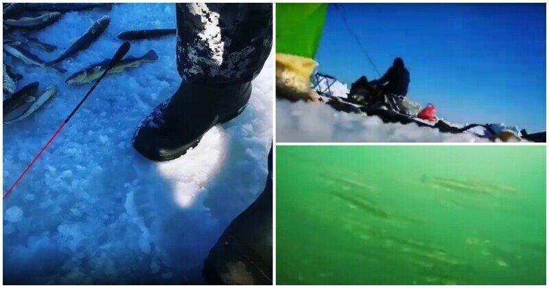 Сахалинский рыбак опустил смартфон в ледяную воду и снял косяки наваги крупным планом