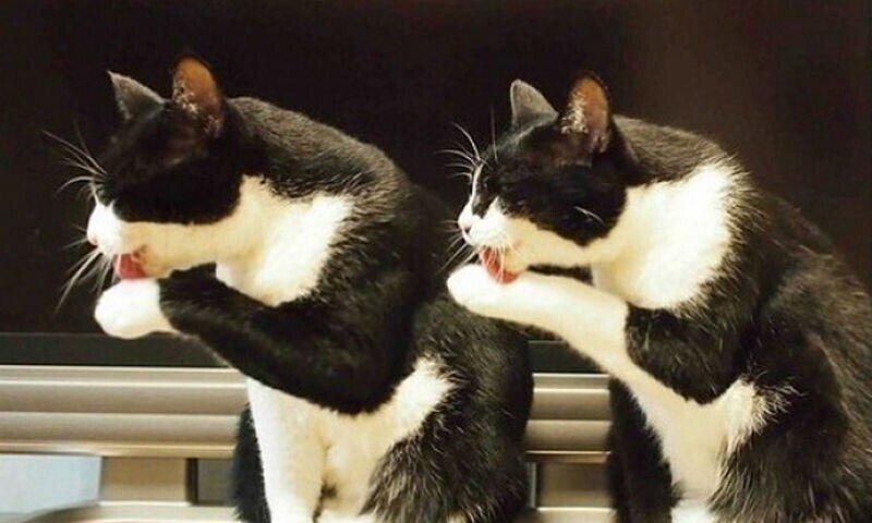 Малоизученный, но смешной факт — кошки могут синхронизироваться