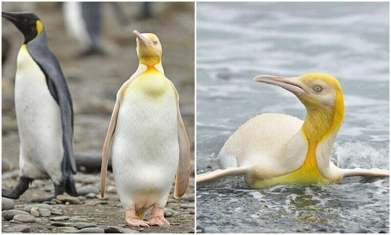 Не такой как все: в Атлантике засняли желтого пингвина
