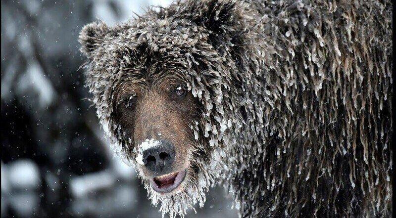 Медведь устроил засаду в яме под клозетом и ждал, с надеждой глядя на круглый проём над головой