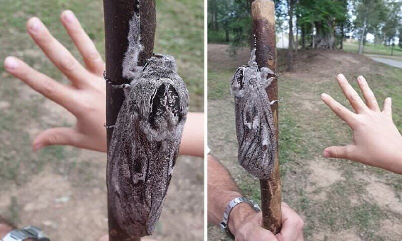 Как выглядит австралийский мотылек размером с человеческую руку