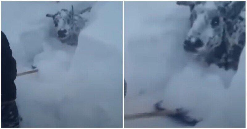 Жителю Дагестана пришлось откапывать свой скот после сильного снегопада