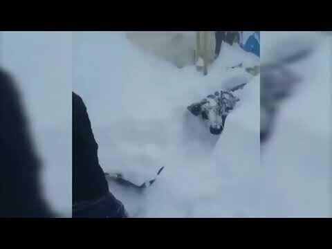 Корову откапывают из-под снега