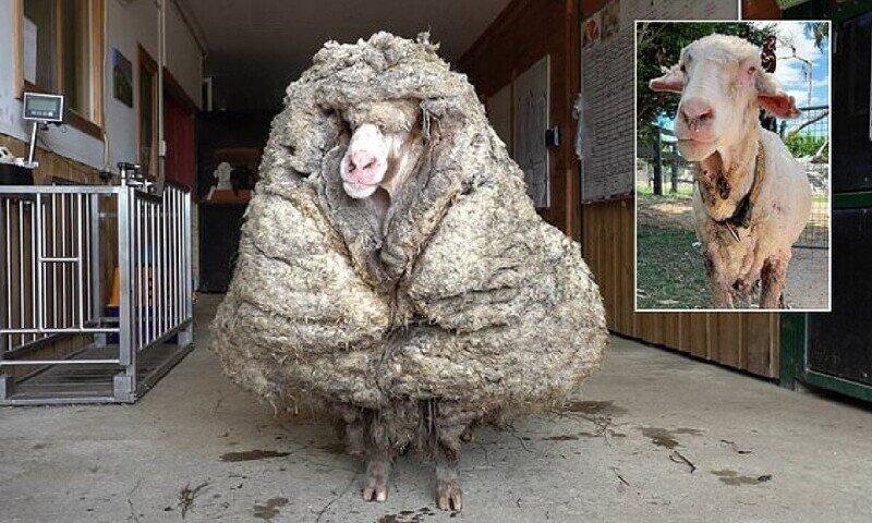 В австралийской глубинке нашли домашнюю овцу, которую никто не стриг пять лет