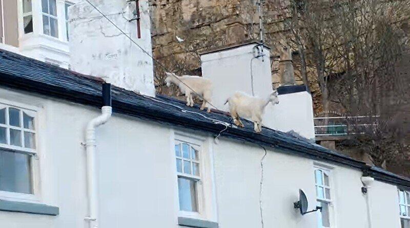 Англичанин удивился козлам на крыше своего дома