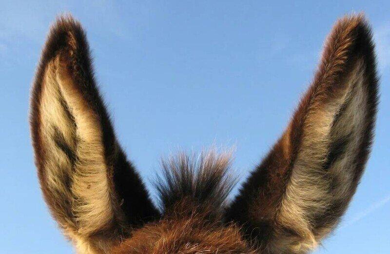 Зачем в Средние века студентам цепляли ослиные уши и кабаньи клыки