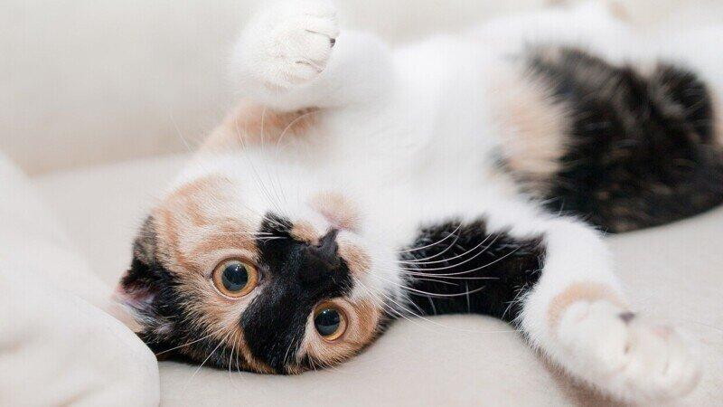 Редкие, необычные и потрясающе эффектные: топ-10 самых красивых кошек в мире
