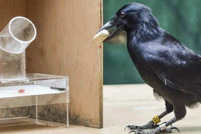 Почему интеллект ворона уникален