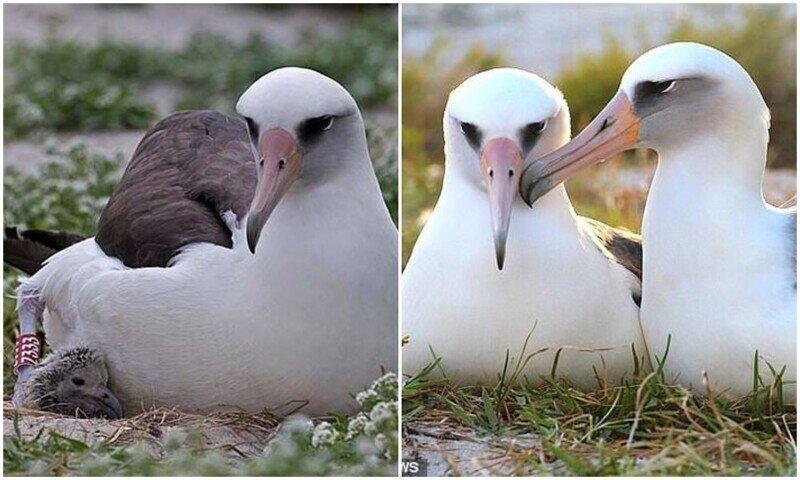 У старейшей птицы мира вылупился 40-й птенец