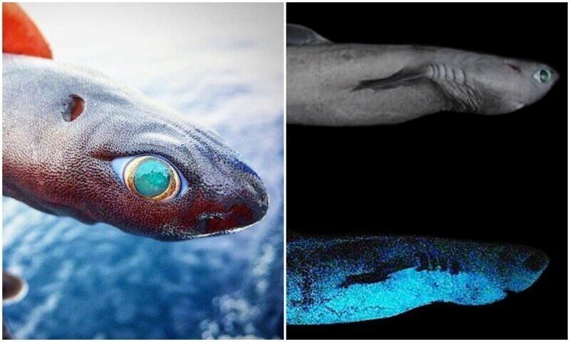 Ученые обнаружили самую большую светящуюся в темноте акулу