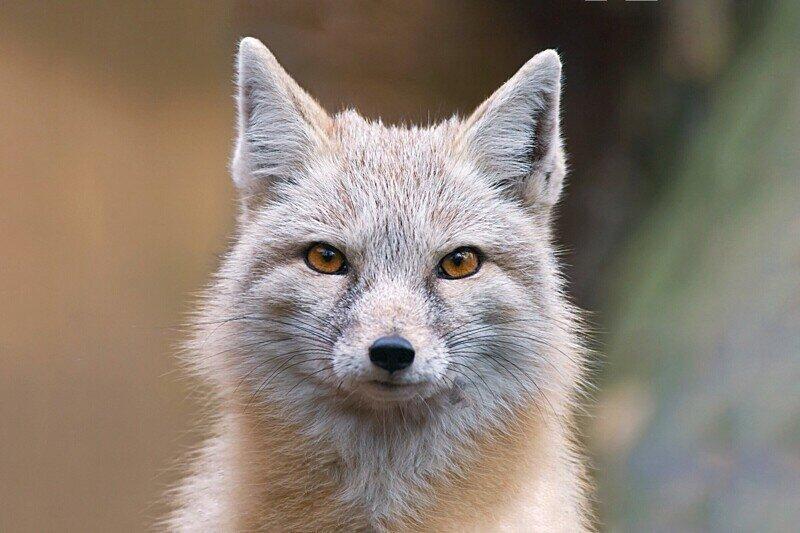 6 особенностей и повадок миниатюрной степной лисицы