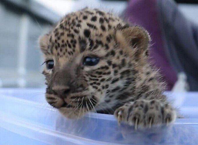 Воссоединение 9-недельного детеныша леопарда с матерью