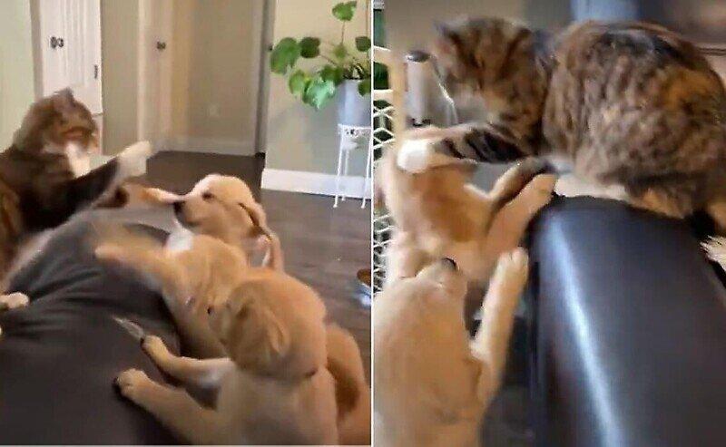 Кошка отбивается от орды игривых щенков