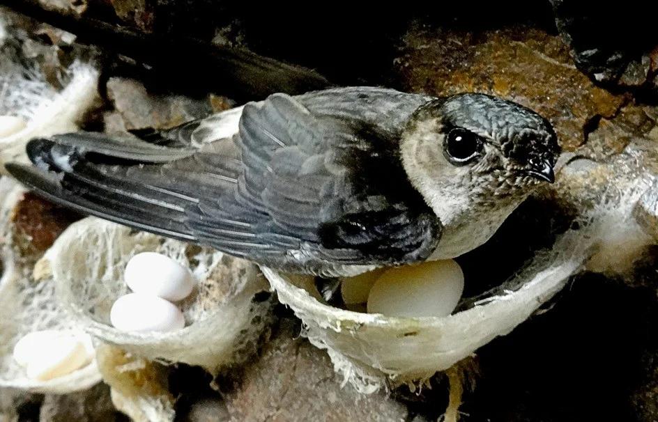 Саланганы: Пещерные стрижи делают гнезда из слюней, а китайцы делают из этих слюней элитный суп. Остановите планету, я сойду