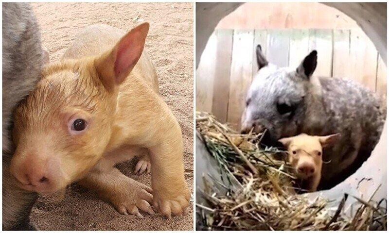 В Австралии родился вомбат с редкой генетической мутацией