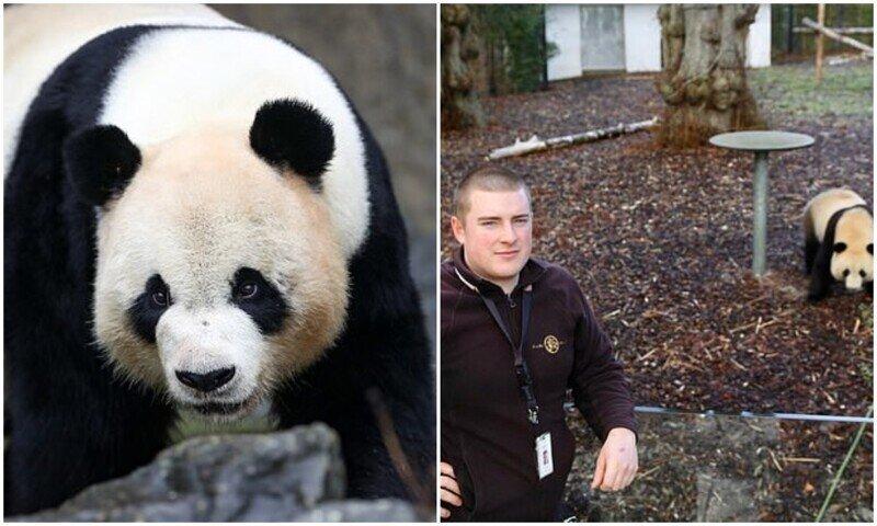 В Бельгии панда сбежала из вольера и напала на смотрителя