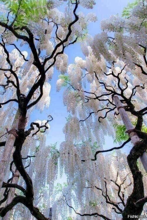 Листопадные лианы глициний всех цветов и оттенков радуги, свисающие со специа...
