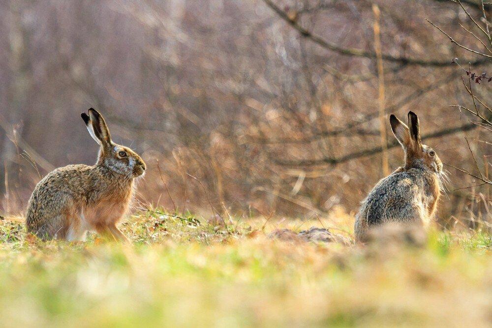 Длинноухое животное: зачем природа наделила зайцев и кроликов длинными ушками?