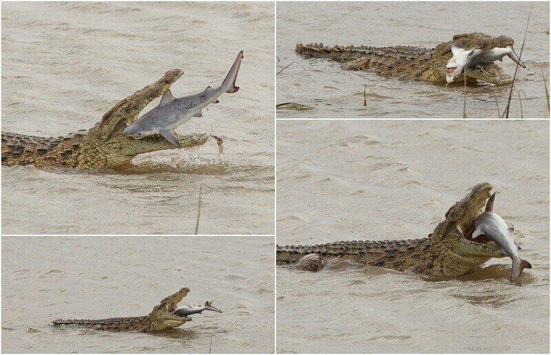 Крокодил проглотил акулу в Австралии