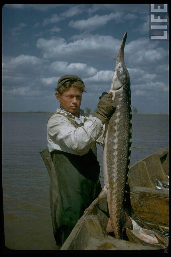 Производство чёрной икры в Астрахани в 1960-м году