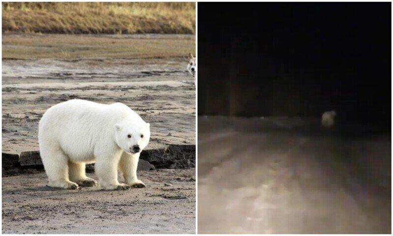 В Якутии водитель заметил на дороге белого медведя
