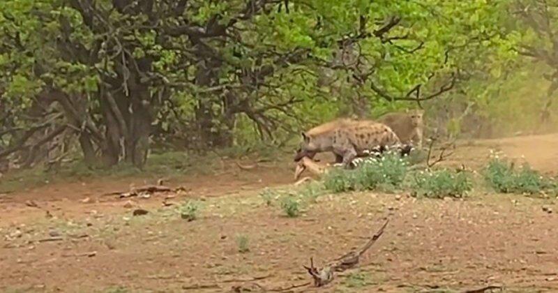 Гиена отняла у леопарда антилопу: кадры из национального парка Крюгера