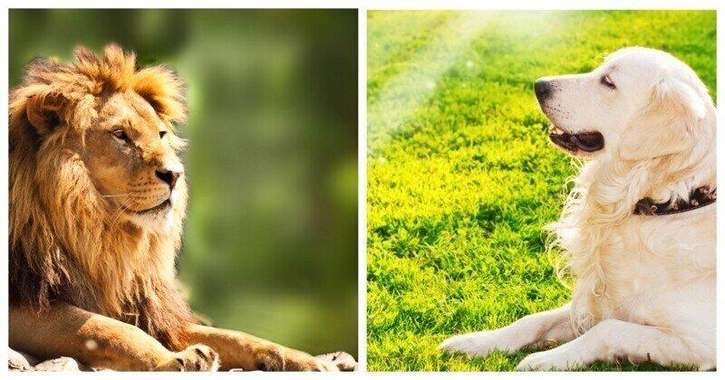 В китайском зоопарке подменили льва собакой